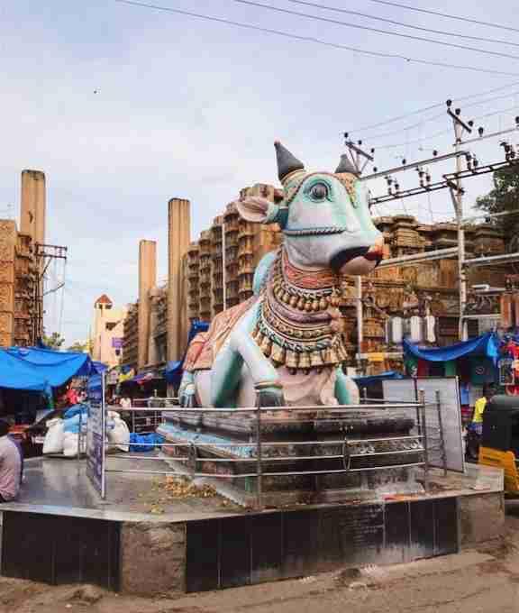 הפרות הקדושות מופיעות גם בפסלים וגם כאורחות רצויות ברחובות