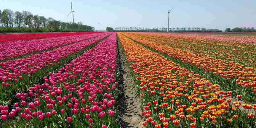 עונת הצבעונים בהולנד, רחלי לביא דגן