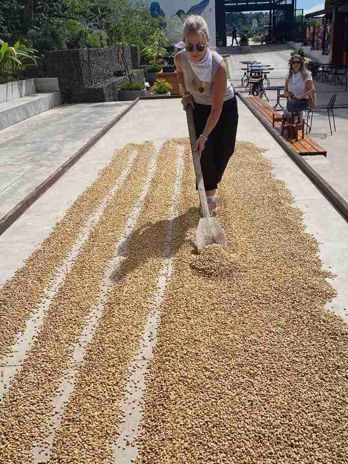ייבוש פולי קפה