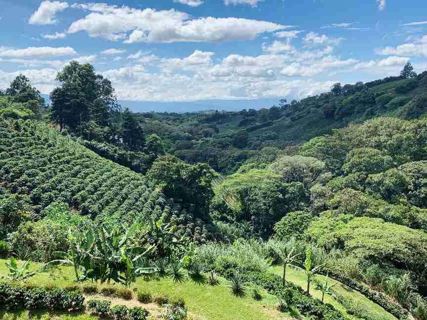 שדות קפה בקוסטה ריקה