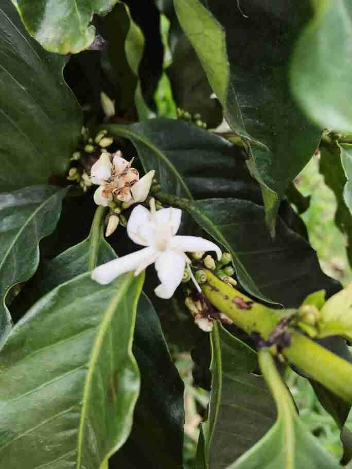 פרחי קפה