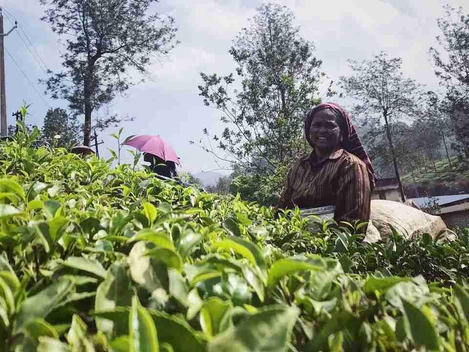 קוטפות התה במונאר הודו